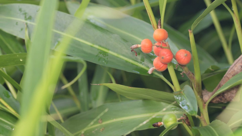 Cardamom Pflanze in Natur